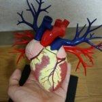 心臓模型「青島文化教材社4DVISION心臓解剖モデル」を買ったのでレビュー